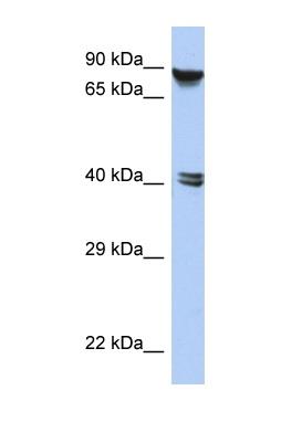 Western blot - ZNF429 antibody (ab90298)