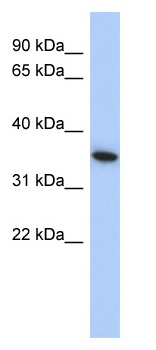Western blot - MXI1 antibody (ab90311)