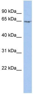 Western blot - Myelin expression factor 2 antibody (ab90313)