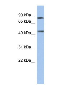 Western blot - Retinoic Acid Receptor gamma antibody (ab90335)