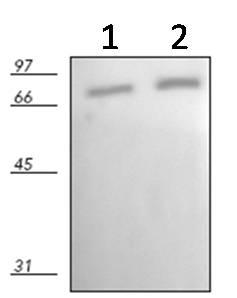 Western blot - Hsc70 antibody [N27F34] (ab90347)