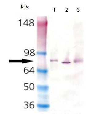Western blot - Hsc70 antibody [1D9] (ab90349)