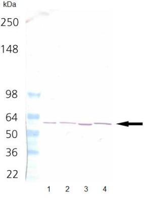 Western blot - TCP1 alpha antibody [91a] (ab90357)