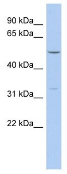 Western blot - Fbx15 antibody (ab90411)