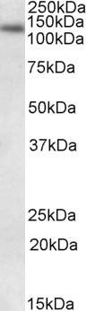 Western blot - DNA Ligase I antibody (ab90428)