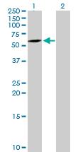 Western blot - ATG16L1 antibody (ab90442)