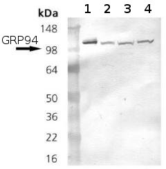 Western blot - GRP94 antibody [9G10] (ab90458)