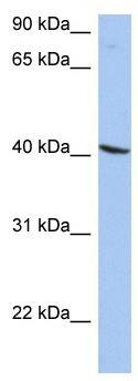 Western blot - WDR77 antibody (ab90471)