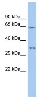 Western blot - MIF4GD antibody (ab90475)