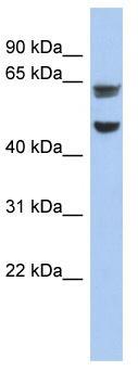 Western blot - ZP1 antibody (ab90480)