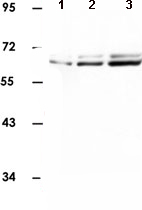 Western blot - HDAC2 antibody (ab90505)