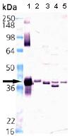 Western blot - Heme oxygenase 2 antibody (ab90515)