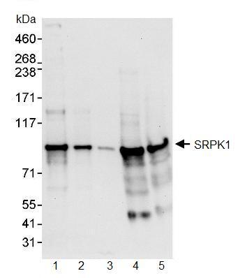 Western blot - SRPK1 antibody (ab90527)