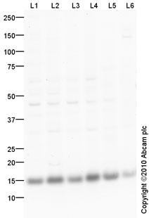 Western blot - Cytochrome C antibody (ab90529)