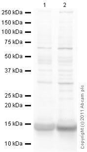 Western blot - Anti-Cytochrome C antibody (ab90529)