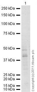 Western blot - Anti-FKBP38 antibody (ab90530)