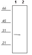 Western blot - Hsp27 (phospho S82) antibody (ab90537)