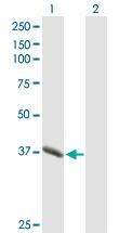 Western blot - Pepsinogen II antibody (ab90547)