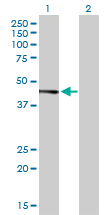 Western blot - JunB antibody (ab90565)