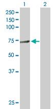Western blot - hnRNP L antibody (ab90567)