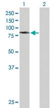 Western blot - Grp75 antibody (ab90568)