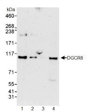 Western blot - DGCR8 antibody (ab90579)