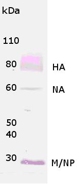 Western blot - HA1 (H1N1) A/California/14/2009 antibody (ab90602)