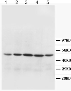 Western blot - MTCO1 antibody (ab90668)