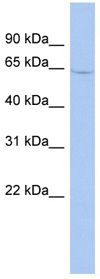 Western blot - Monoamine Oxidase A antibody (ab90675)