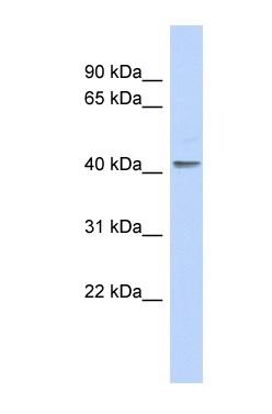 Western blot - EKLF / KLF1 antibody (ab90680)
