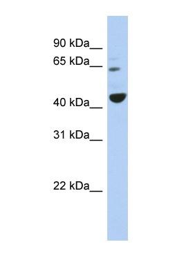 Western blot - TFE3 antibody (ab90681)