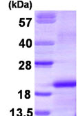 SDS-PAGE - MCSF protein (His tag) (ab90707)