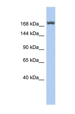Western blot - LRRC37A3 antibody (ab90715)