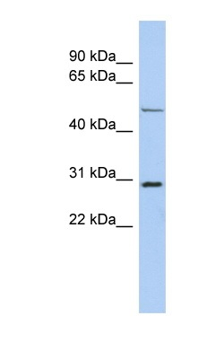 Western blot - POU3F3 antibody (ab90727)