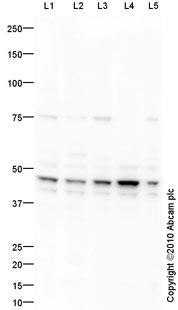 Western blot - PGK1 antibody (ab90787)