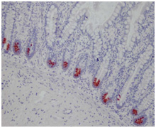 Immunohistochemistry (Formalin/PFA-fixed paraffin-embedded sections) - alpha 5 Defensin antibody [8C8] (ab90802)