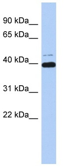 Western blot - MAZ antibody (ab90863)