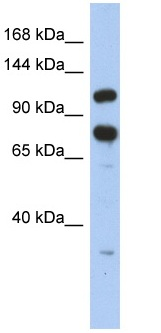 Western blot - ZFR antibody (ab90865)