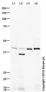 Western blot - Actin Regulatory Protein CAPG antibody (ab90873)