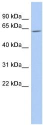 Western blot - TULP2 antibody (ab90891)