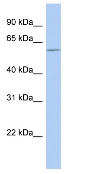Western blot - PIST antibody (ab90904)