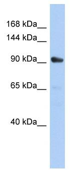 Western blot - MKLP1 antibody (ab90916)