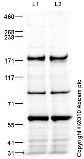 Western blot - KIF1A antibody (ab91029)