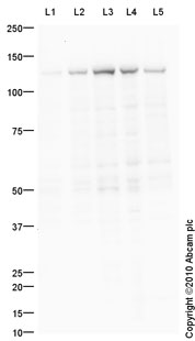 Western blot - Anti-KIF5B antibody (ab91033)