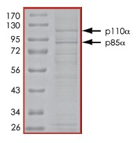 SDS-PAGE - PI 3 Kinase p110alpha + PI 3 kinase p85 alpha protein (Active) (ab91093)