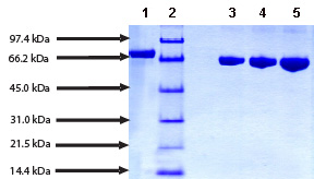 SDS-PAGE - Apotransferrin protein (Human) (ab91100)