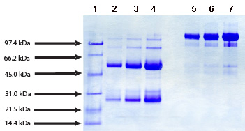 SDS-PAGE - IgG protein (Human) (ab91102)
