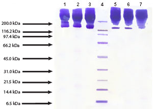 SDS-PAGE - Apolipoprotein B protein (Human) (ab91112)