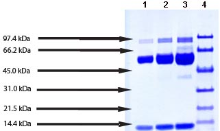 SDS-PAGE - Myeloperoxidase protein (Active) (ab91116)