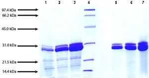 SDS-PAGE - Cathepsin G protein (Active) (ab91122)